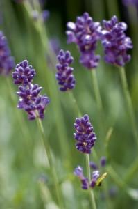 1333x2000-Lavendel